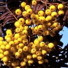 Sorbus arnoldiana 'Golden Wonder'