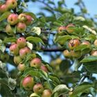 Malus 'Evereste®'